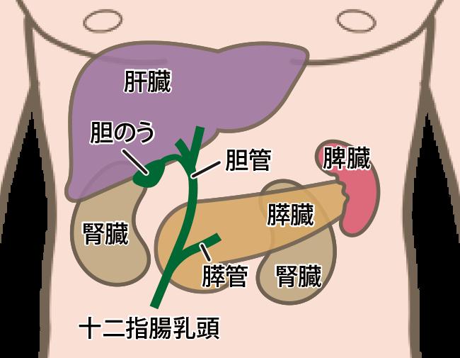 腹部領域超音波検査で検査する主な臓器